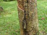 Tropsko Drvo  Trupci - Za Rezanje, Abura (Bahia, Elolom), Kamrun