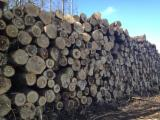 Hardwood  Logs PEFC FFC - Sell POPLAR Logs