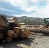 Grand Fir Softwood Logs - Fir/Spruce 24+ cm -- Saw Logs Romania