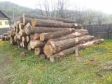 Hardwood  Logs - 30+ cm Oak (European) Saw Logs in Romania