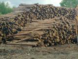 Softwood  Logs Poland - Industrial Logs, Pine (Pinus sylvestris) - Redwood
