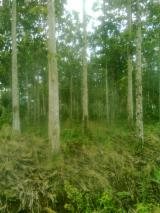 Mature Trees For Sale - Buy Or Sell Standing Timber On Fordaq - 90 000