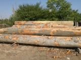 Hardwood Logs importers and buyers - 40 m Beech Saw Logs