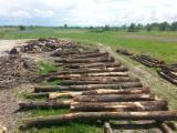 Hardwood  Logs Oak European - Saw Logs, Oak (European)