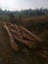 Softwood  Logs For Sale - Saw Logs, Mongolian Scotch Pine (Pinus Sylvestris)