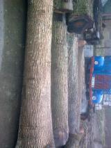 Hardwood  Logs For Sale - European veneer logs