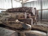 raw round logs and sawn timber, Arbore de camfor