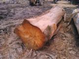 Standing Timber - Eucalyptus Standing Timber from Brazil