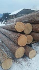 Softwood  Logs - SİBERİA LARCH PİNE - LOGS