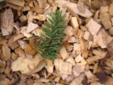 Maritime Pine Wood Saw Dust, 5000 m3/spot