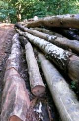 Hardwood  Logs - Saw Logs, Willow (Europe)