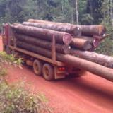 Tropical Wood  Logs For Sale - Industrial Logs, Amarante - Purpleheart, Suriname