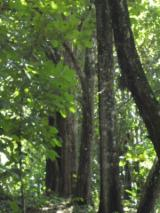 Woodlands For Sale - Teak plantation