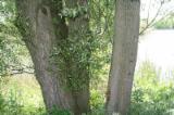 Hardwood  Logs For Sale - Willow Logs 30+ cm