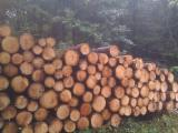Softwood  Logs For Sale - Saw Logs, Douglas Fir (Pseudotsuga)