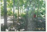 Standing Timber For Sale - FOREST OF TEAK TREES FOR SALE