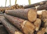 Softwood  Logs For Sale - Radiata pine from Spain