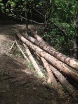 Wood Logs For Sale - Find On Fordaq Best Timber Logs - We are looking for PINE buyers