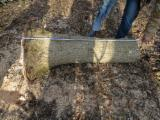 Hardwood  Logs Demands -  Looking for white ash with large roots