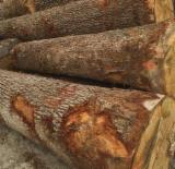 Softwood  Logs - Saw Logs, Ochoo ( hura crepitans)