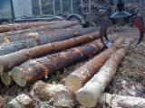 Softwood  Logs For Sale - Pine logs (Pinus Sylvestris)