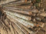 Softwood  Logs - Eucalyptus loggs and Timber