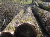Hardwood  Logs Poland - Poplar saw logs for sale