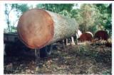Tropical Wood  Unedged Timber - Flitches - Boules For Sale - IROKO WOOD LOGS