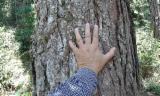 Bosgebieden Elliotis Pine Pinus Elliotis - Brazilië, Elliotis Pine