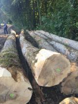 Hardwood  Logs - WHITE OAK LOGS - SAWING GRADE