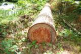 Softwood  Logs - FIR LOGS, SAWING GRADE