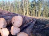 Softwood  Logs France - SPRUCE LOGS, SAWING GRADE