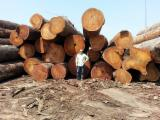 Tropical Wood  Logs - Tropical Wood from DR Congo - Logs or Sawnwood