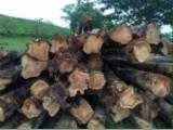 Tropical Wood  Logs Teak - PLANTATION TEAK PREMIUM LOGS