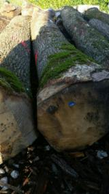 Hardwood  Logs Oak European - Saw european oak logs A grade