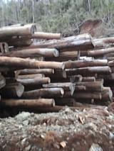 Forest And Logs Oceania - Tubi (Xanthostemon) logs ready for export