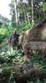 Mature Trees For Sale - Buy Or Sell Standing Timber On Fordaq - 15,000 m³ Ipê forest in Brazil