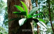 Brazilian-Eucalyptus