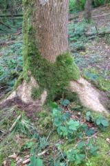 Hardwood  Logs Demands - Hurley ash logs - Wanted