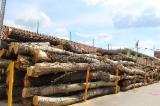 Noble Fir Softwood Logs - Douglas Fir , Fir , Nordmann Fir - Caucasian Fir 20-100 cm AB Saw Logs