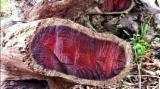 Tropical Wood  Logs Cocobolo Palissander - Cocobolo blocks Dalbergia retusa