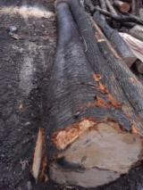 Hardwood  Logs - Fresh cut maple saw logs for sale