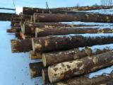 Softwood  Logs For Sale - Pine logs 20+cm