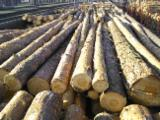 Wood Logs For Sale - Find On Fordaq Best Timber Logs - Pine Pulpwood with FSC to be delivered by truck/by train - Europe