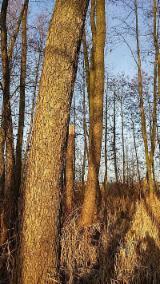 Madera En Pie En Venta - Polonia, Aliso (European Common Alder, Black Alder) - Alnus Glutinosa