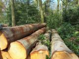 Hardwood Logs importers and buyers - 30+ cm Oak (American Red - Origin: Europe) Saw Logs