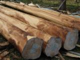 Tropical Wood  Logs - EUCALYPTUS GLOBULUS AND VIMINALIS LOGS FOR SAWING, FSC WOOD.