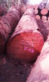 Tropical Wood  Logs For Sale USA - Moabi (African pearwood, ayap, Muamba) tropical logs