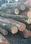 Hardwood  Logs Demands - Buying Acacia logs