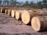 Tropical Wood  Logs - Acajou d'afrique (African Mahogany, Khaya) timber logs